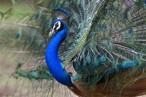Peacock - 10 Most Beautiful Birds from around the World