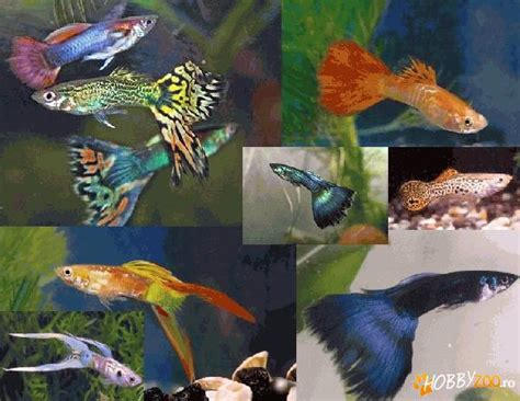 Vand Guppy si Ciclide africane - Hobby-Zoo