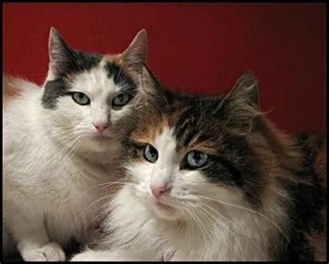 Norwegian Forest Cat Breed Pictures   Beautiful Cat Pictures