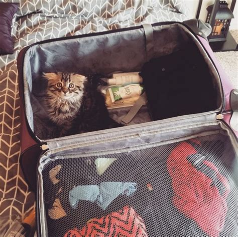 41 Pics Of Cats Hiding In Your Luggage [GALLERY] - CatTime